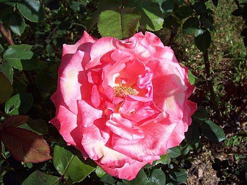 rose rose58