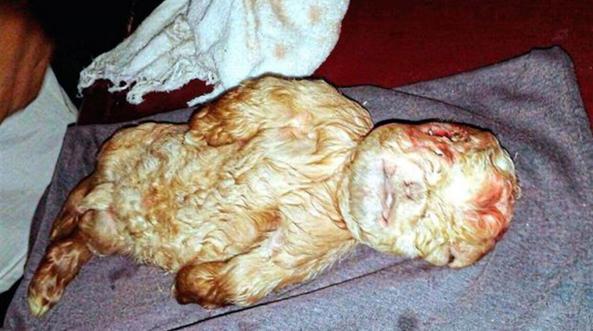 un bébé chèvre avec une tête humaine découvert en Malaisie !