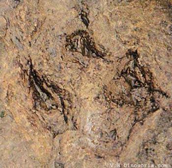 Empreintes d'un Iguanodon