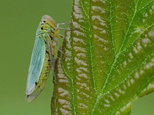 Insecte---Cicadelle-Verte-002