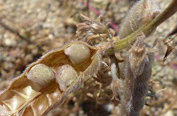 Lupinus angustifolius  -  lupin à feuilles étroites