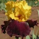 iris glad rags d'iris en Provence