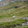 Un patou m'oblige à passer en rive gauche du vallon de Peyrelue