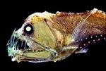 Le poisson-vipère de Sloane