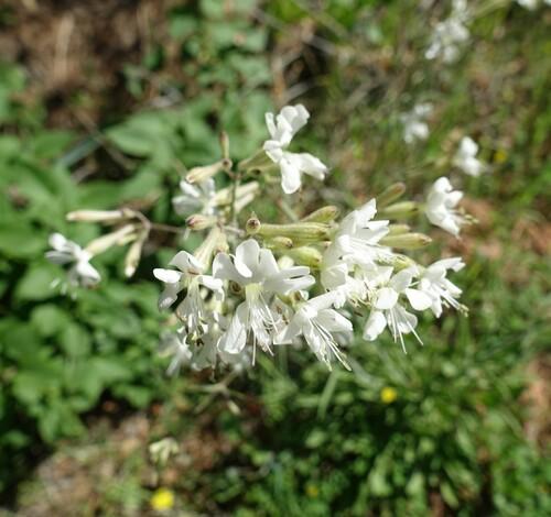 De jolies petites fleurs blanches...