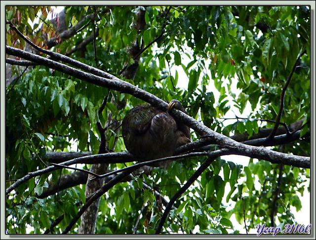 Blog de images-du-pays-des-ours : Images du Pays des Ours (et d'ailleurs ...), Aî, paresseux à 3 griffes (Bradypus variegatus) - Puerto Viejo de Talamanca - Costa Rica