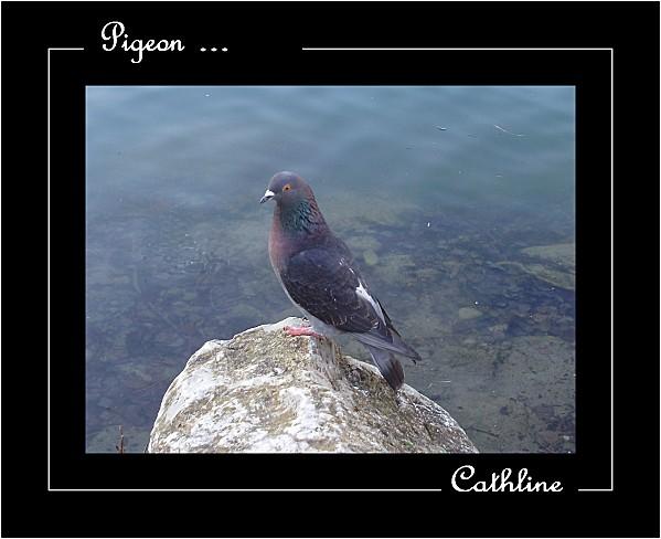 PIGEON RAMIER-copie-2