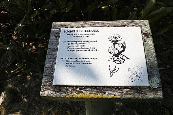 arborétum chamberet- le magnolia de soulange