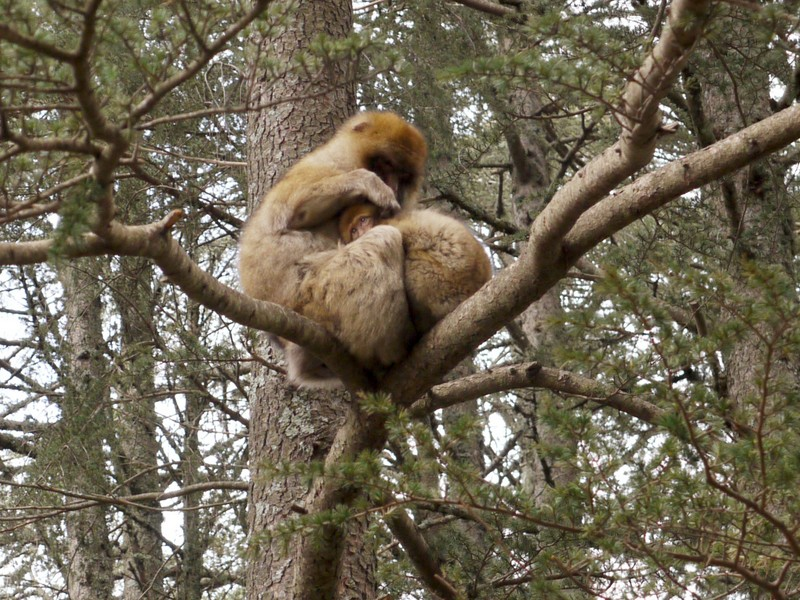 Les macaques d'Azrou