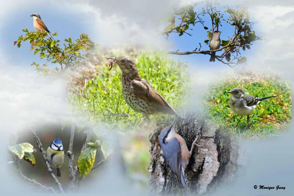 Oiseaux de nos contrées