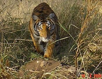 deux tigres chinois
