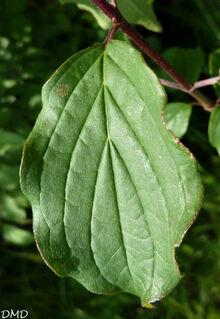 Cornus sanguinea  -  cornus sanguin