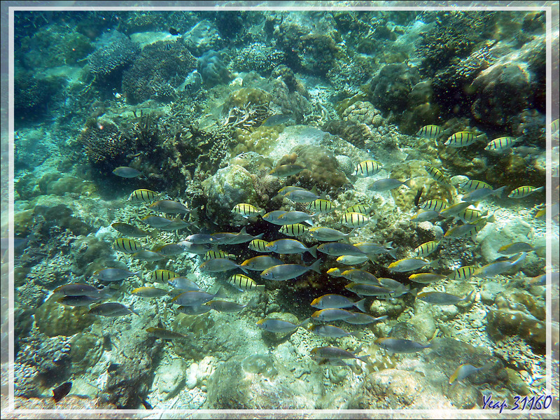 Snorkeling à Nosy Tsarabanjina : Chirurgiens-bagnards accompagnés peut-être de Poissons-lapins - Archipel Mitsio - Madagascar