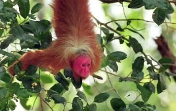 Les singes aussi rougissent ...