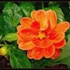 galerie-membre,fleur-dahlia,dahlias-nains.jpg