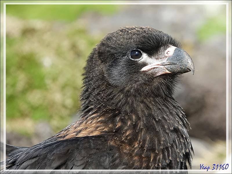 Caracara austral, Striated Caracara (Phalcoboenus australis) - New Island - Falkland (Malouines, Malvinas) - Grande-Bretagne