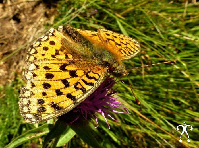 Printemps Papillon