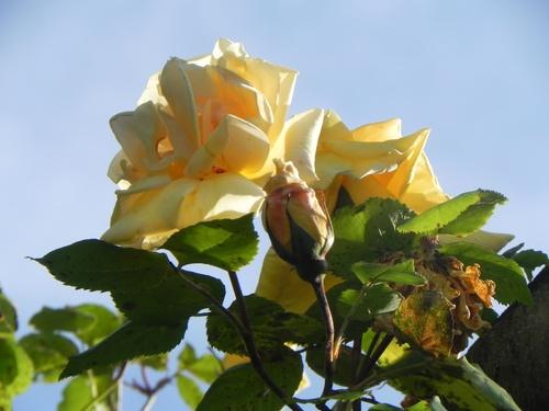JUIN ...Festival  des Roses .
