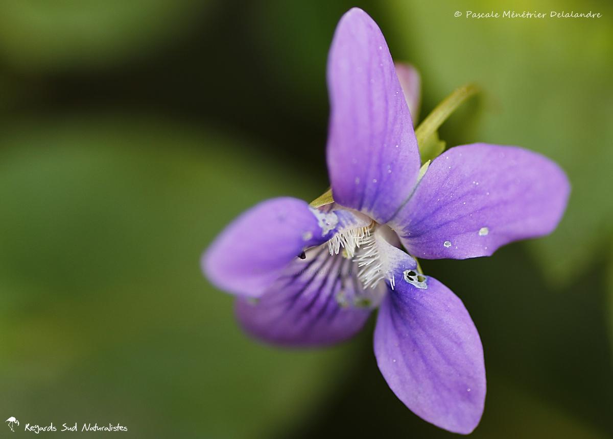 Violette sauvage - Viola riviniana