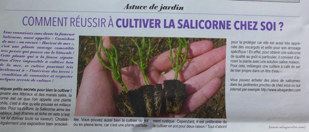 Astuce pour cultiver la salicorne...