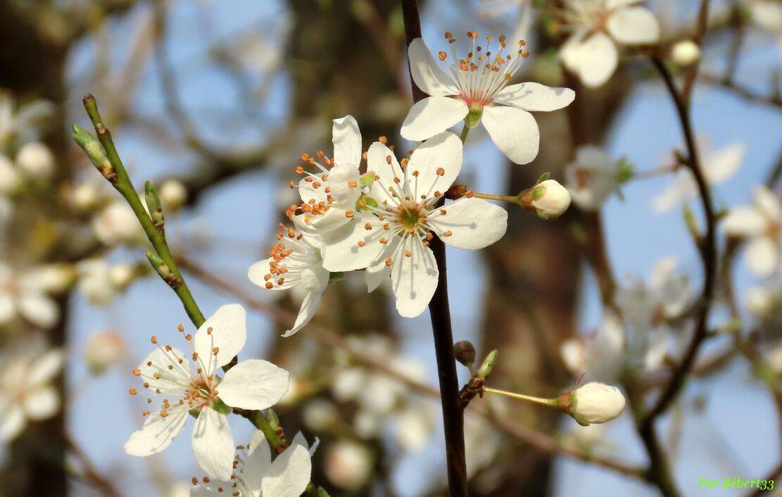 mes fleurs de prunier
