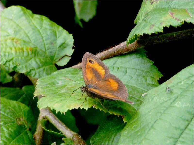 L'Amaryllis (Pyronia tithonus ) ...