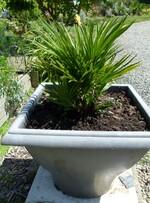 chamaerops humilis hybride vulcano plant 2