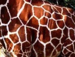 peau-girafe.jpg