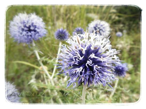 Fleurs d'été : Azurites ou chardons bleus