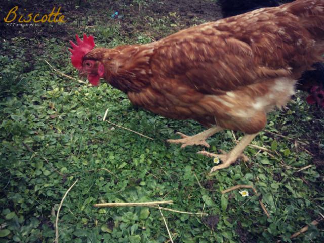 Présentation de mes poulettes.