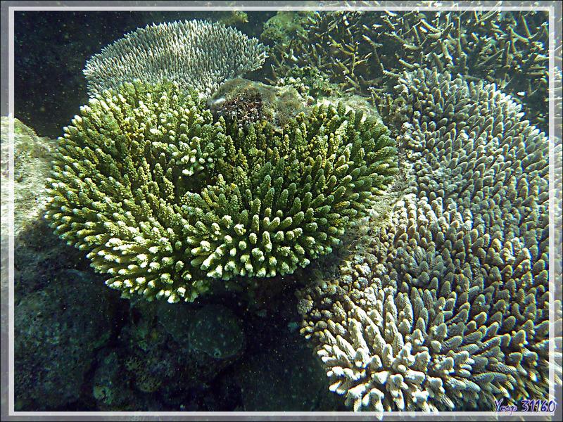 Snorkeling à Grande Mitsio : Corail acropore digitiforme vert et blanc - Madagascar