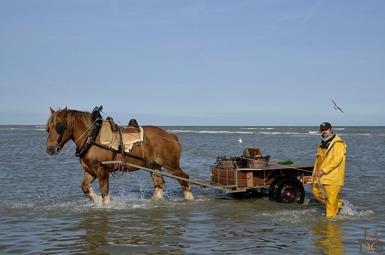 Pêche aux crevettes à cheval