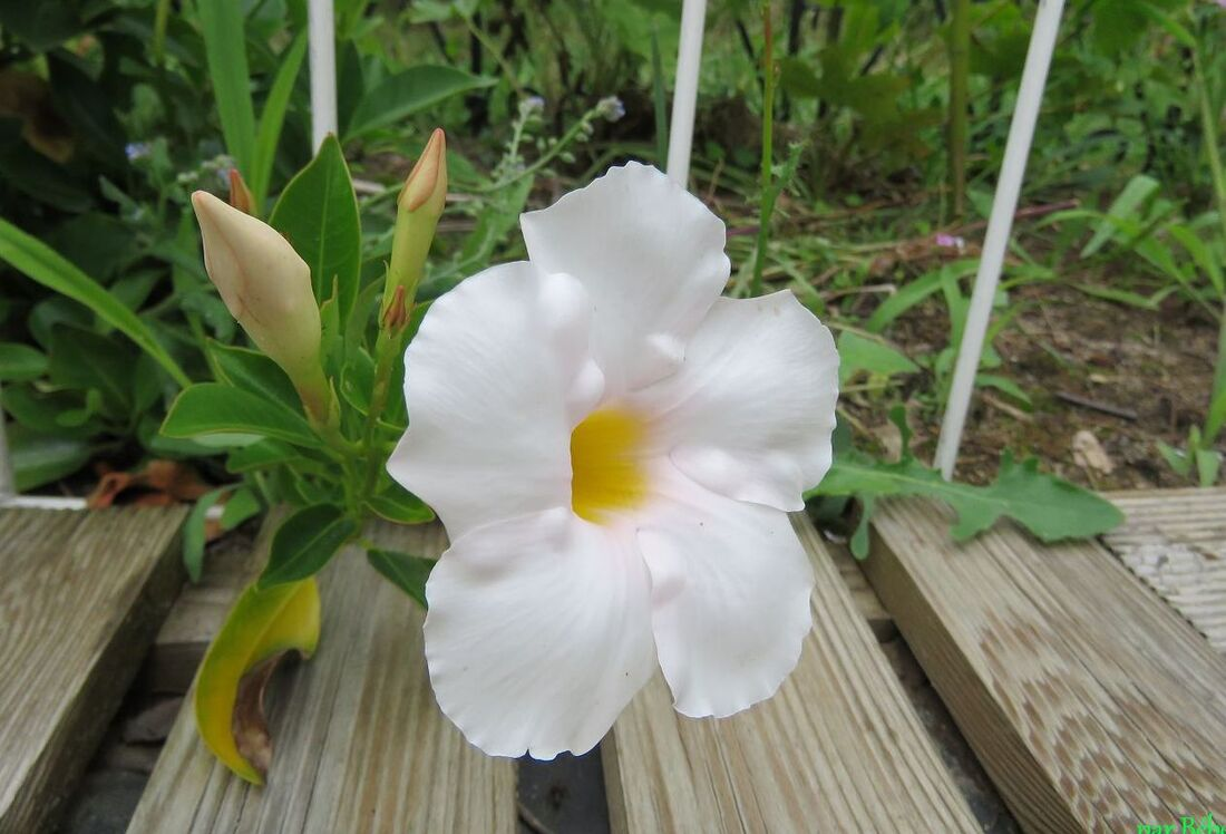 Mes fleurs du jardin en Juin