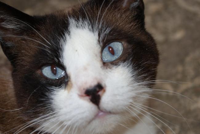 Poussa, le chat aux yeux bleus.