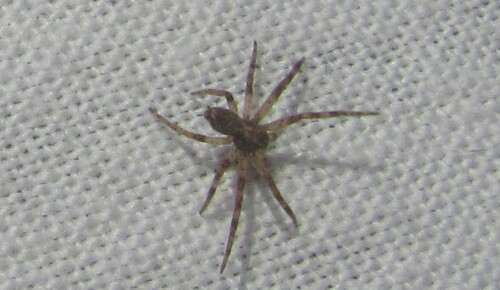 Philodromidae