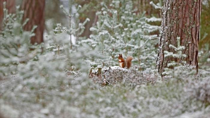 Écureuil roux dans le parc national de Cairngorms, en Écosse