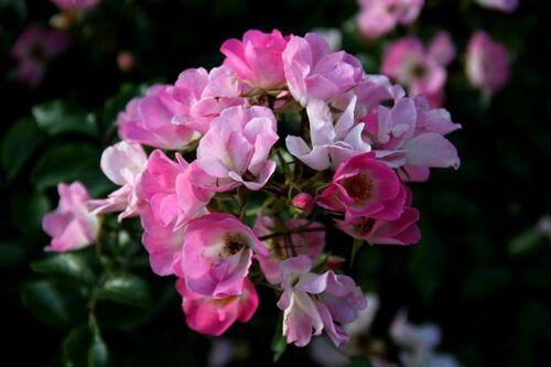 Concours International de Roses Nouvelles du Roeulx 2018 - Résultats