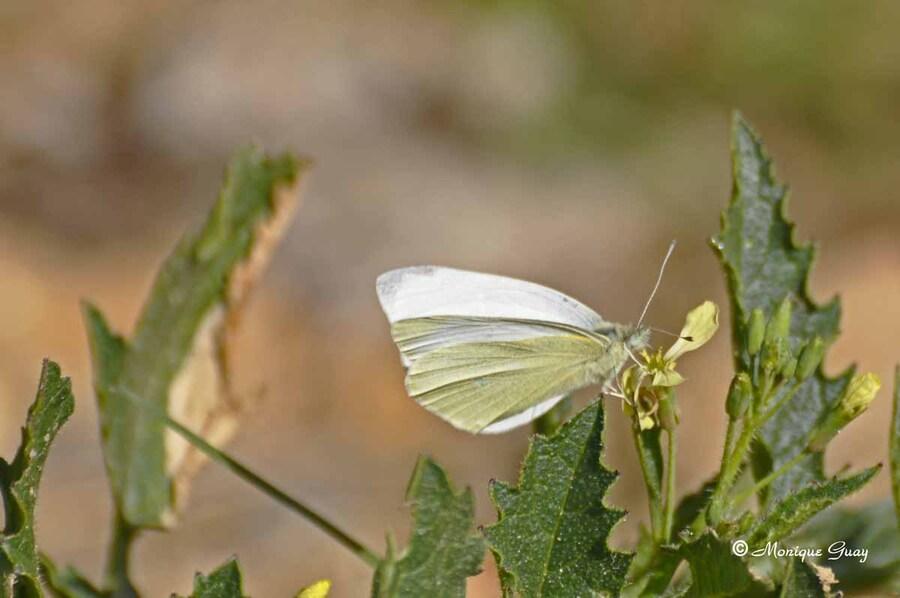 Papillon piéride en approche