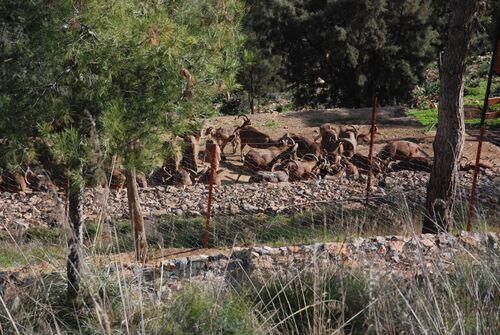 Les mouflons
