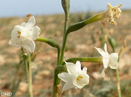 Narcissus dubius  -  narcisse douteux