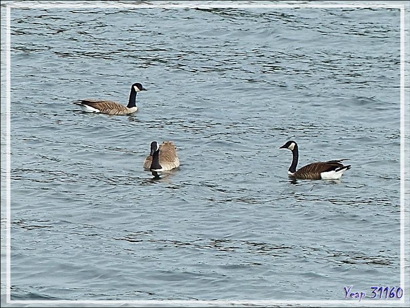 Bernache du Canada, Canada Goose (Branta canadensis) - Gananoque - Ontario - Canada