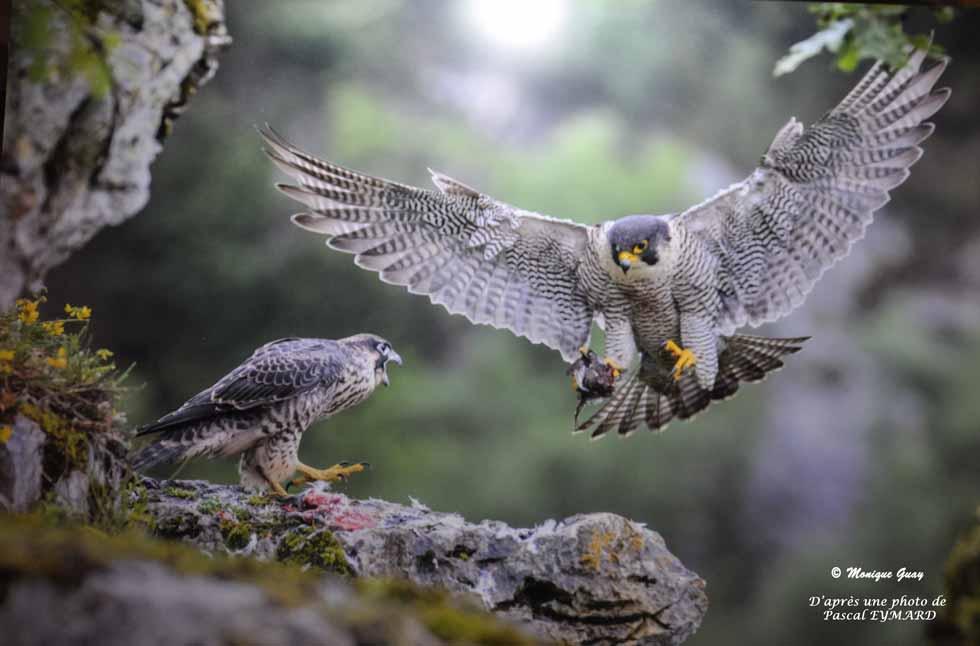 Faucons pélerins