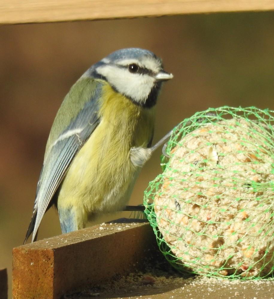 Petits oiseaux du jardin - 2020 : la mésange bleue...