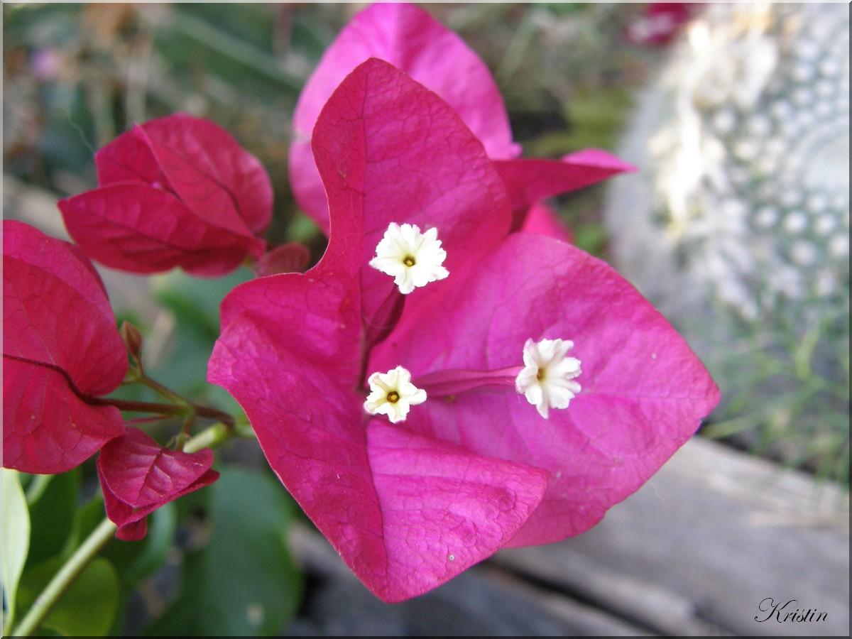 Bougainville Fleur pour bougainvillé en fleur - jardin, chats et animaux