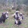 Avril2016 balade avec des bearded collie