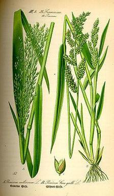 Le millet
