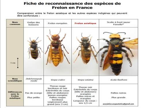Le frelon asiatique en France