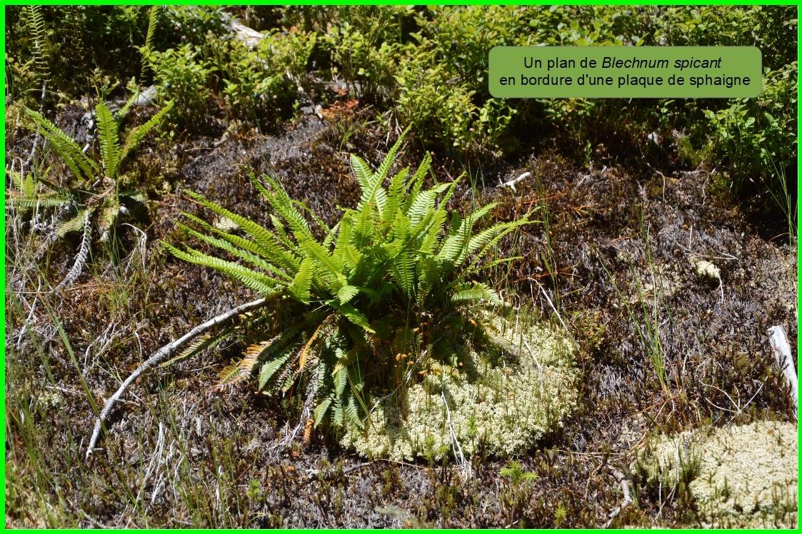 Fougère Blechnum en épi (Struthiopteris spicant) Blechnaceae