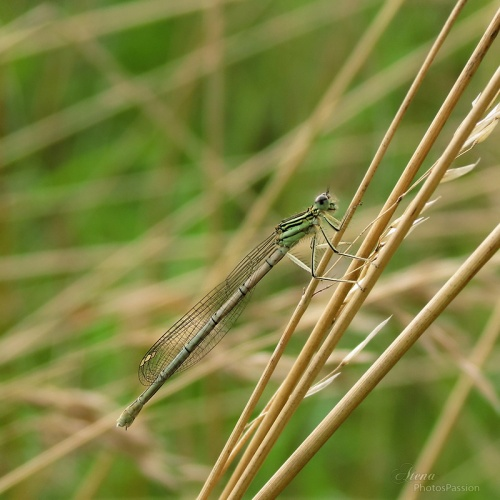 Agrion blanc