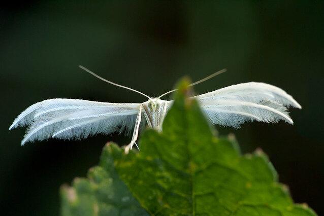 Macro / chenille-papillon
